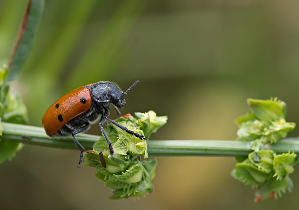 Haar-Langbeinkäfer