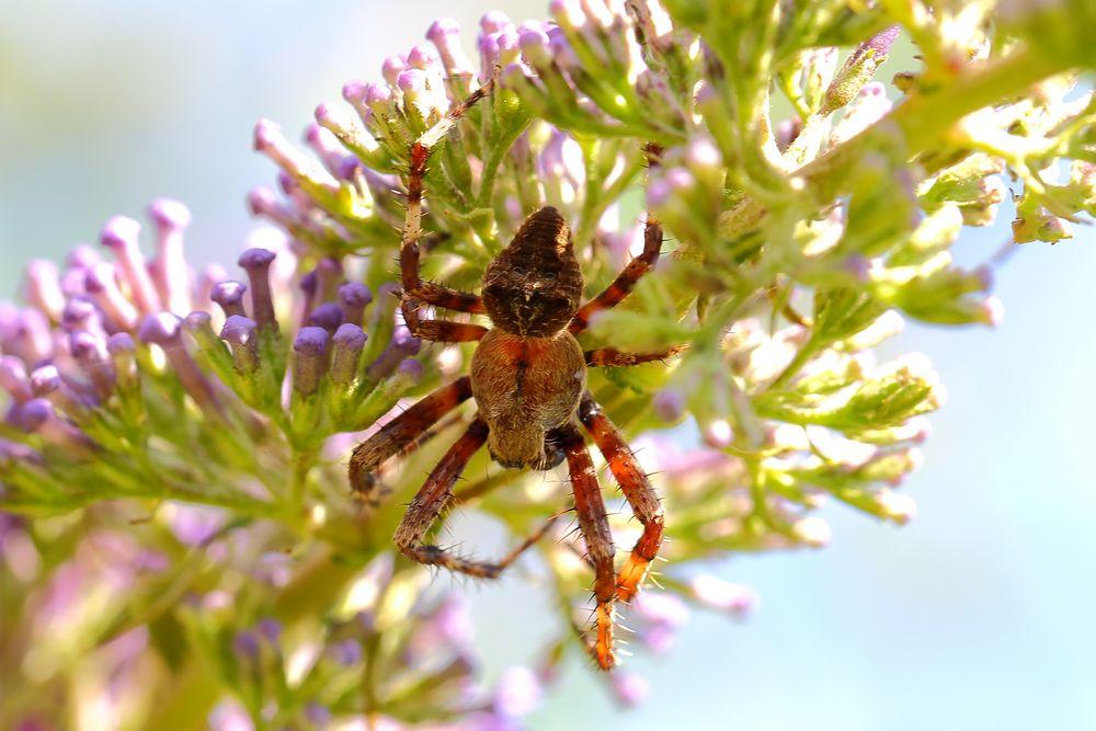 Haariger Achtbeiner versteckt sich im Sommerflieder - Gartenkreuzspinne ( Araneus diademata )