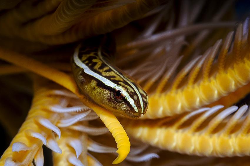 Haarstern-Schildbauchfisch