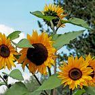 Hab Sonne im Herzen... - Le tournesol se tourne toujours vers le soleil!