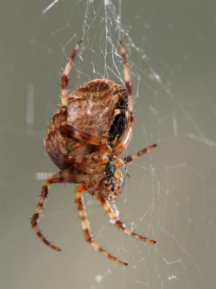 haben spinnen einen penis foto bild tiere wildlife spinnen bilder auf fotocommunity. Black Bedroom Furniture Sets. Home Design Ideas