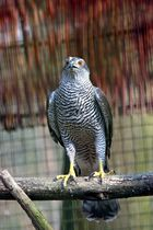 Habicht im Vogelpark