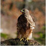 - Habicht Jv  -    ( Accipiter gentilis )