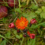 Habichtskraut im Herbst