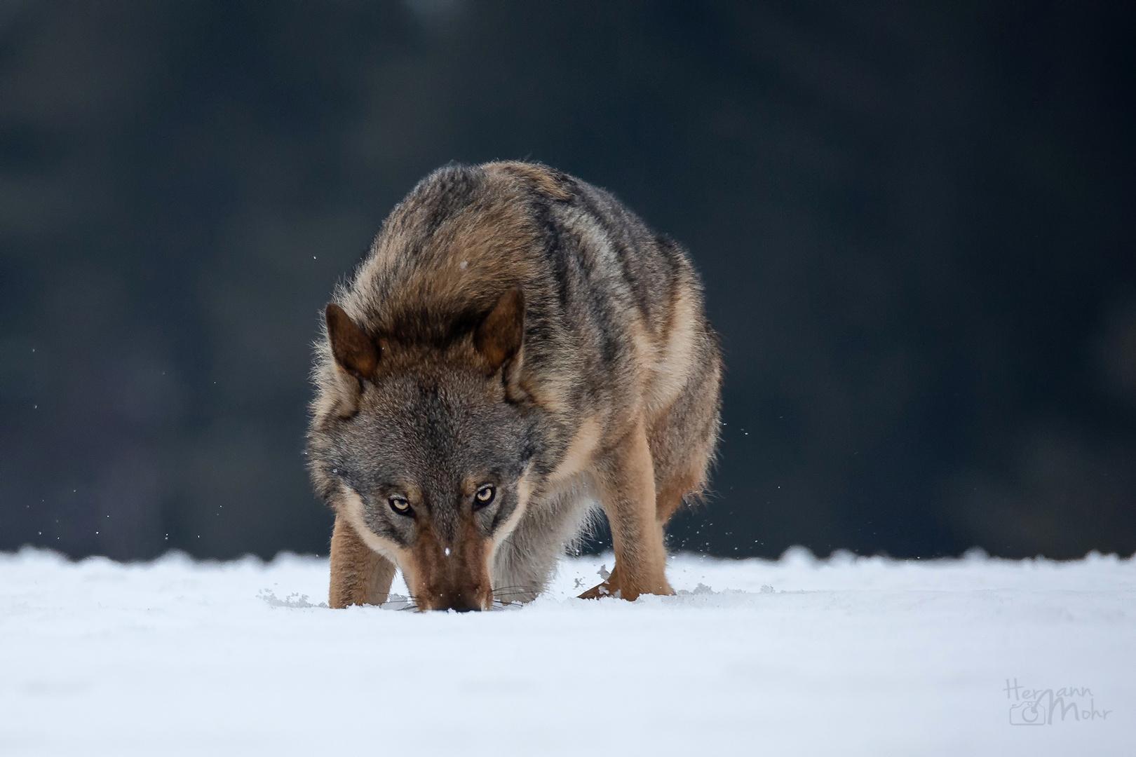 Hachiko.... ganz Wolf