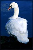Hackly Swan