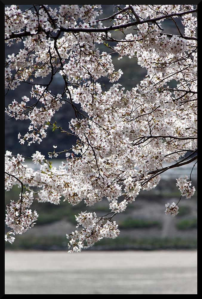 HADONG/Korea - Cherry Blossom XI
