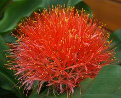Haemanthus katherinae