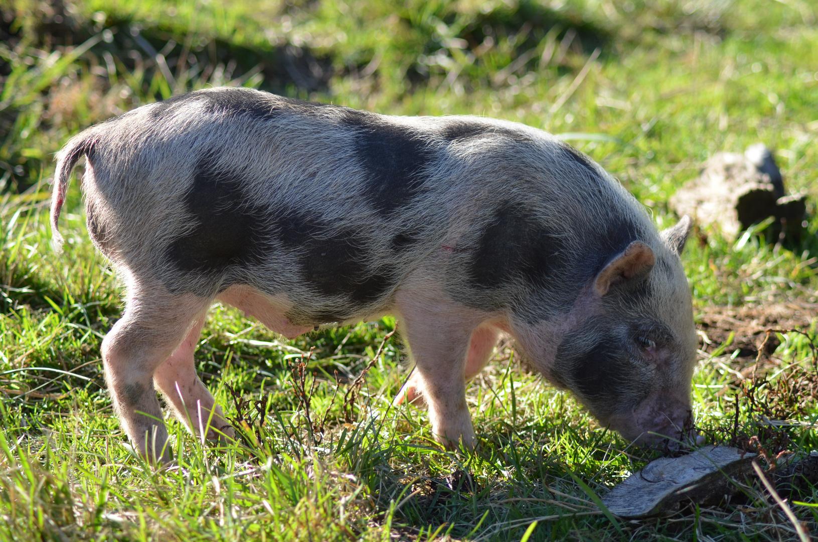 Hängebauchschwein Frischling