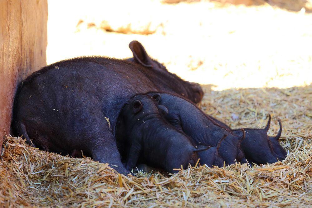 Hängebauchschweine (I)