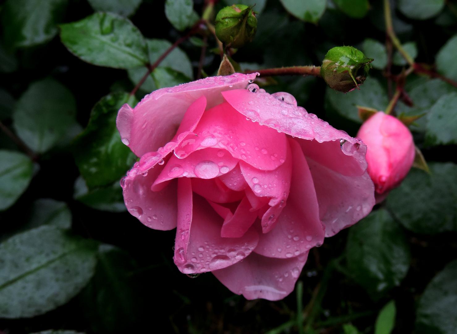 h ngende k pfe foto bild fleurs roses rosen bilder auf fotocommunity. Black Bedroom Furniture Sets. Home Design Ideas