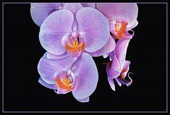 -   hängende Orchidee   -