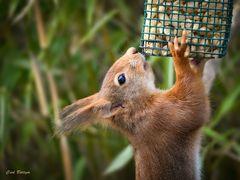 Hängepartie - Eichhörnchen