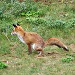 hätte der Fuchs nicht ges......., hätte er die Gans gekriegt.