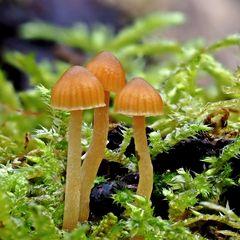 Häublinge (Galerina heterocystis)