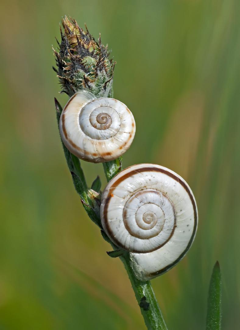 Häuschenschnecken, die ohne Trockenheit und Sonnenschein nicht überleben können! - Escargots...