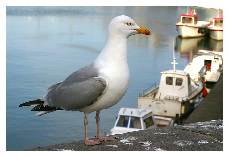 Hafenmöve in Dieppe ...
