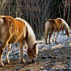 Haflinger im Winter auf dem Plesch!
