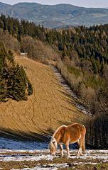 Haflinger mit Blick in die Landschaft!