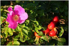 Hage-Butte-Blüte