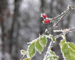 Hagebutte im Frost