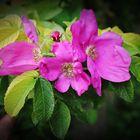 Hagebuttenblüte in Arnis