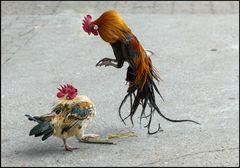 Hahnen-Kampf