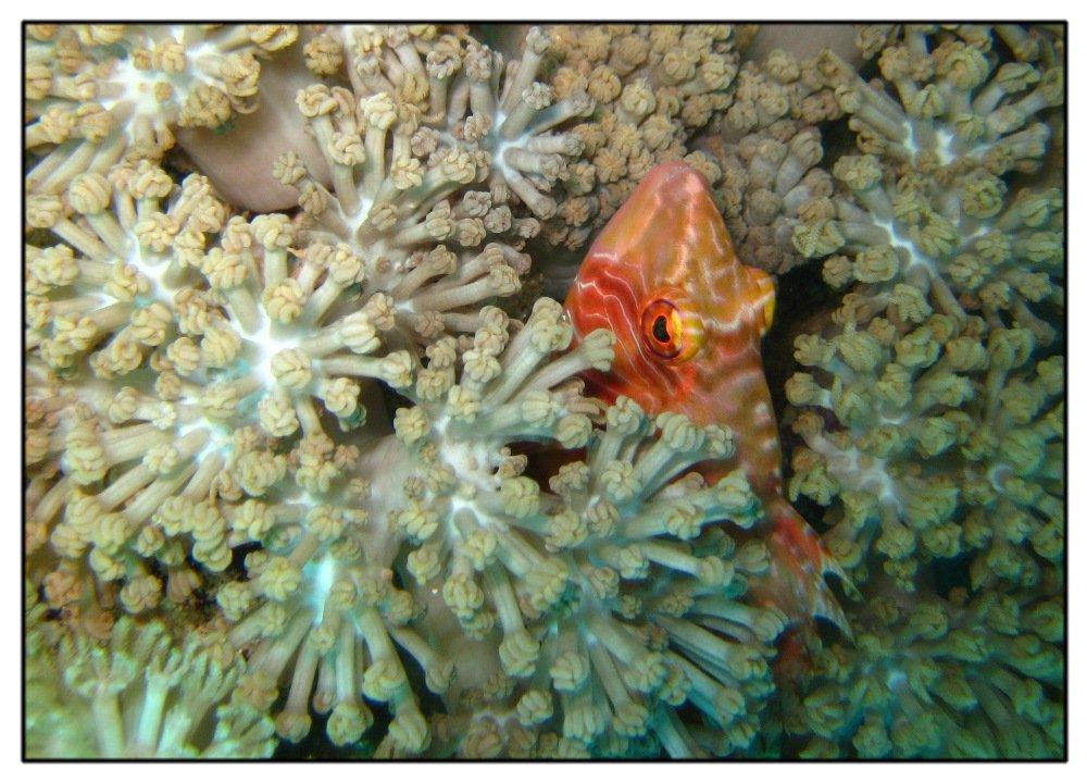 Hahnen-Lippfisch in Weichkoralle