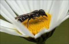 Hahnenfuß-Scherenbiene (Chelostoma florisomne) Weibchen