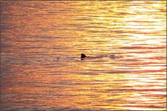 Hai in der Abendsonne