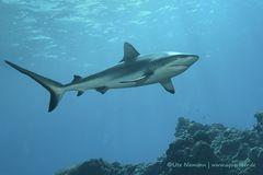 Haie | Ein Hai-Light auf Yap