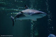 Haifisch Versuch im Sea Life