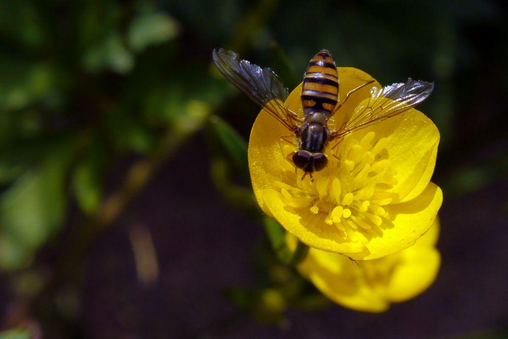 Hainschwebfliege auf gelber Blüte (I)