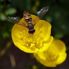 Hainschwebfliege auf gelber Blüte (II)