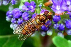 Hainschwebfliege (Episyrphus balteatus) (Va)
