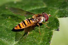 Hainschwebfliege (Episyrphus balteatus) (VI)