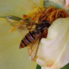 Hainschwebfliege (Episyrphus balteatus) (VII)