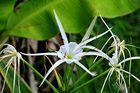 """"""" Hakenlilie ( Crinum amabile ) """" ; Aklan - Panay 2009"""