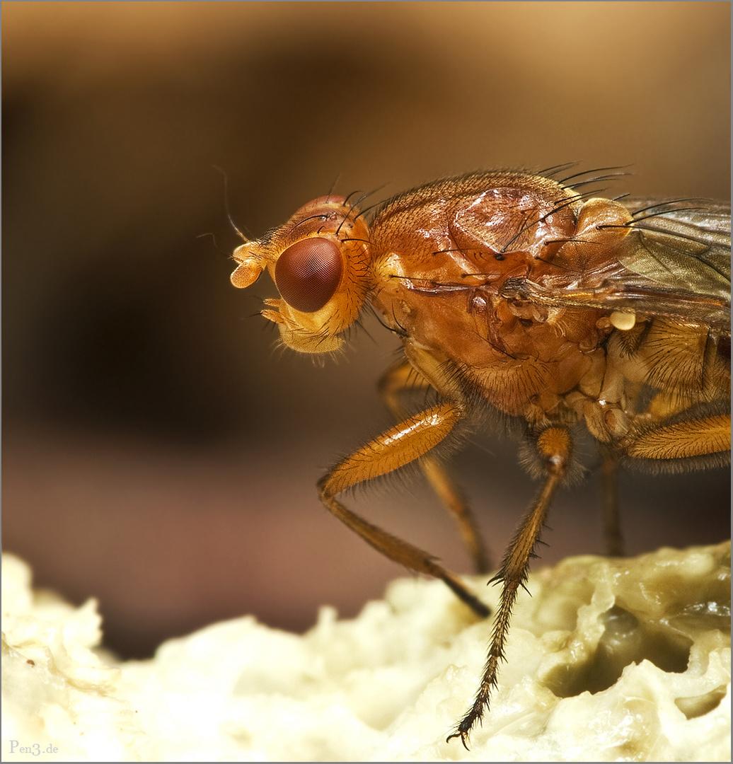 halbe Fliege