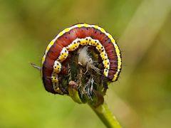 Halberwachsene Raupe des Kräutermönchs (Cucullia lucifuga) - Chenille de la Cucullie lucifuge.