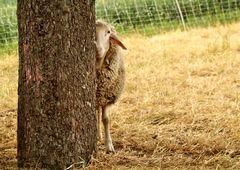 halbes-Schaf