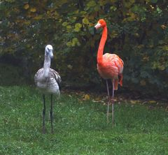 Halbstarker Flamingo mit Mutter (Neuwieder Zoo)
