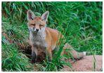 ---- Halbstarker Fuchs Nr. 2 ---- ( Vulpes vulpes )