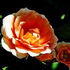 Half Shaded Rose