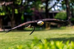 Haliaeetus leucocephalus