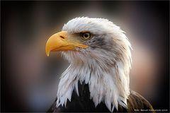 Haliaeetus leucocephalus   oder   Weißkopfseeadler .........
