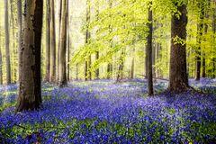 Hallerbos - ein Wald voll Hasenglöckchen