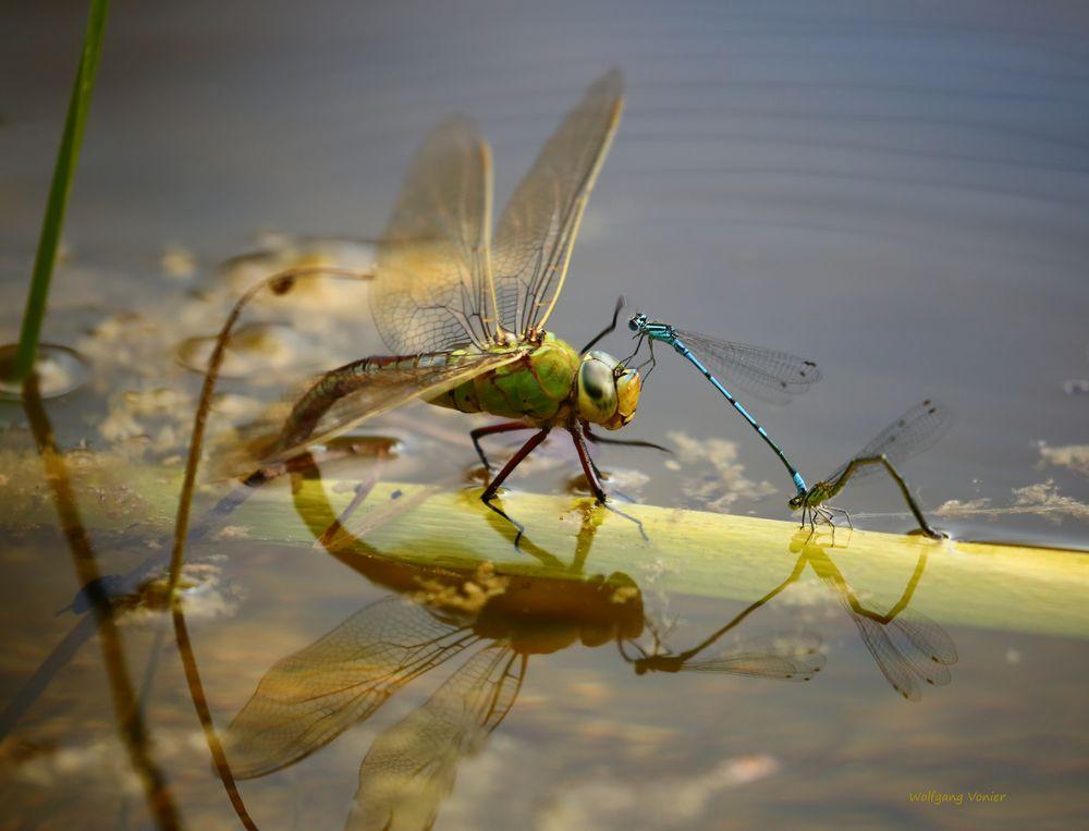 Hallo bin auch da..........Königslibelle mit Schlanklibellen