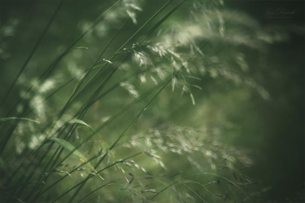 Halme im Wind (1)