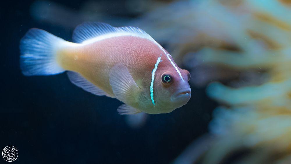 Halsband-Anemonenfisch (Amphiprion perideraion)
